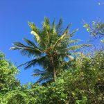 オーストラリアのケアンズ グリーン島の熱帯雨林植物:ヤシの木