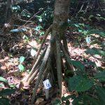 ケアンズ グリーン島の熱帯雨林植物:木が歩くって本当?アダンとグンバイヒルガオ