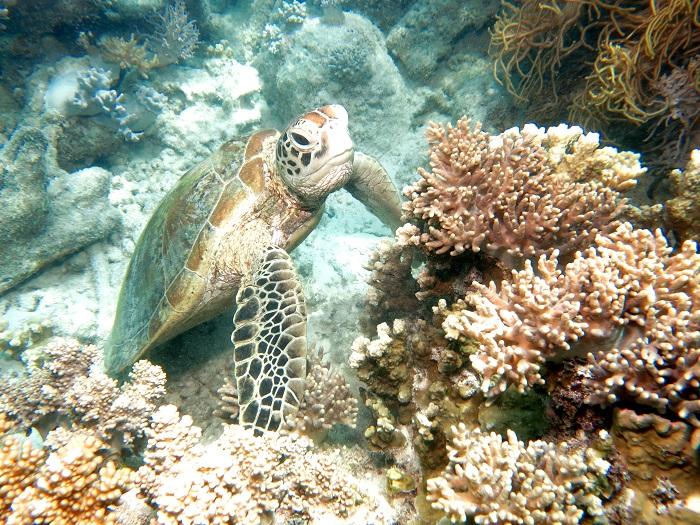 グリーン島のアオウミガメ