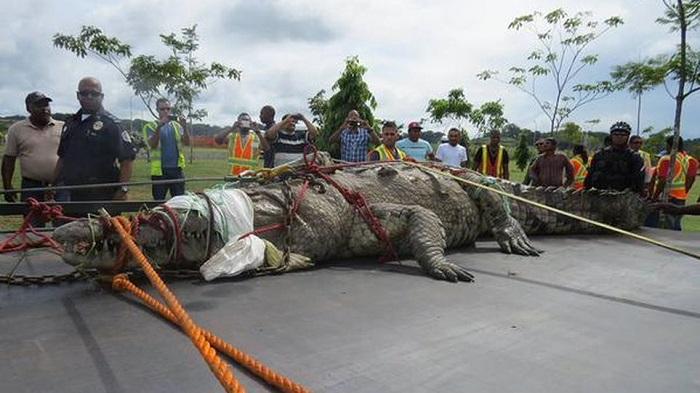 パナマの巨大ワニ