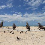 オーストアリアのケアンズから行くミコマスケイは南半球で最大の海鳥の繁殖地